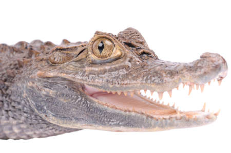 Alligator isolated over white background   photo