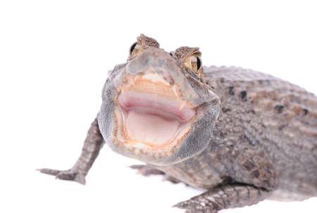 Alligator isolated over white background Stock Photo - 16855422
