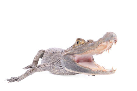 Alligator isolated over white background