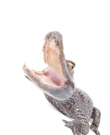 Alligator isolated over white background   Stock Photo - 16855430
