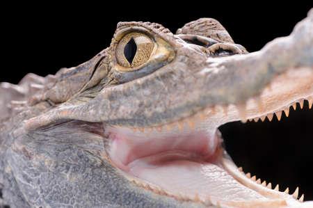 Alligator isolated over white background   Stock Photo - 16855452