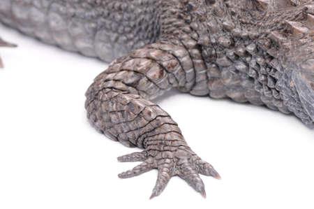 Alligator isolated over white background Stock Photo - 16858280