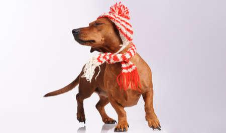 dachshund vestida em chap