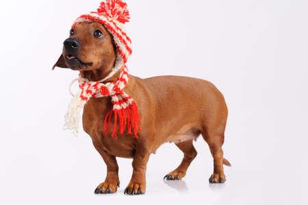 dachshund vestido em chap�u e len�o Banco de Imagens