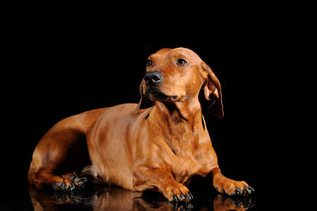 brown dachshund dog isolated over black background photo