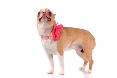 funny chihuahua dog isolated over white background photo