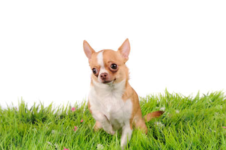 funny chihuahua dog on green grass  photo
