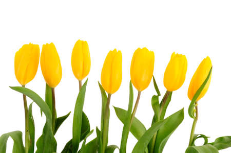 Beautiful bouquet of yellow tulips on a white background