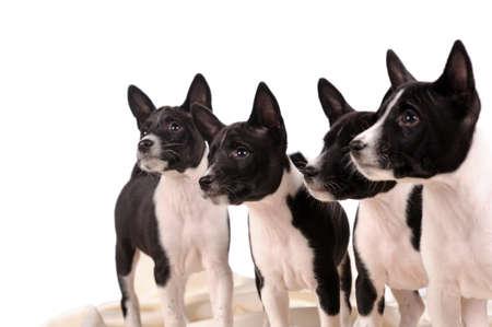 trustful: Basenji dogs puppy isolated over white background