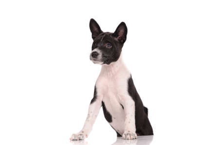 doggy position: Basenji dog puppy isolated over white background