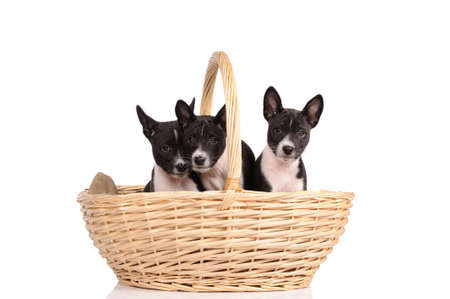 doggy position: Basenji dogs puppy in the basket isolated over white background Stock Photo
