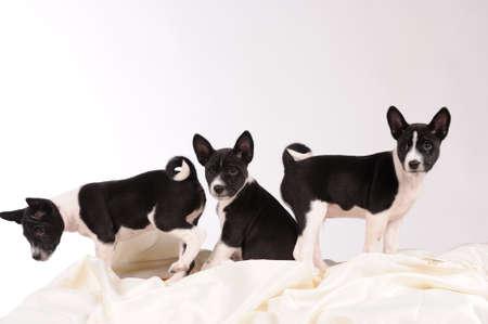 doggy position: Basenji dogs puppy over grey background