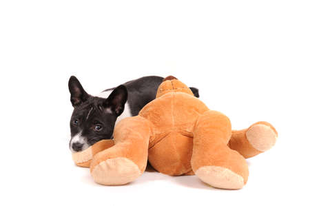 doggy position: Basenji dog puppy with toy isolated over white background