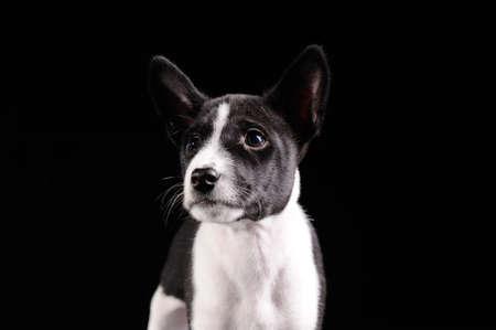 trustful: Basenji dog puppy isolated over black background Stock Photo