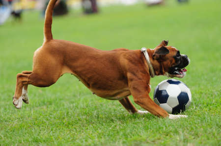 dog playing with ball on the green grass