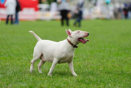Bull Terrier dog on the green grass