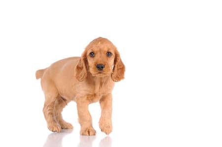 over white background: sad puppy dog isolated over white background