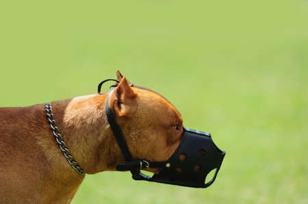 barking: dangerous dog with muzzle on the green background