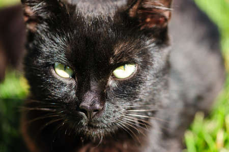 black cat  sitting on green grass photo