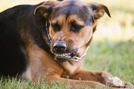 bared teeth: angry dog with bared teeth