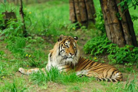 siberian tiger: tiger on the green grass Stock Photo