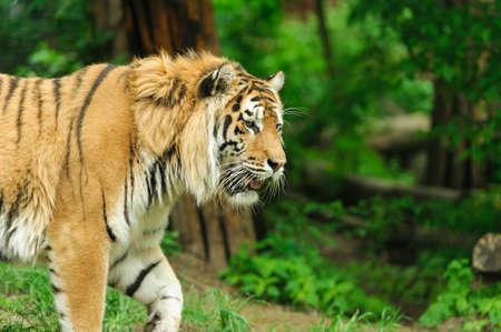 tiger on the green grass Banco de Imagens