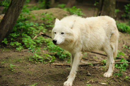 dreadful: wolf walking on the ground
