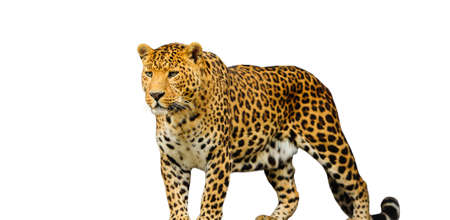 leopards: leopard on the white background