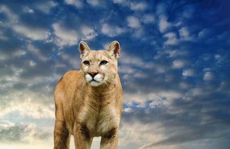 catlike: leopard on the sky background