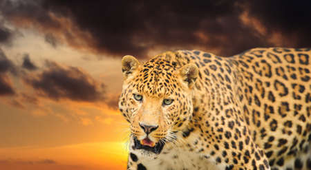 catlike: gorgeous  leopard on the sky background