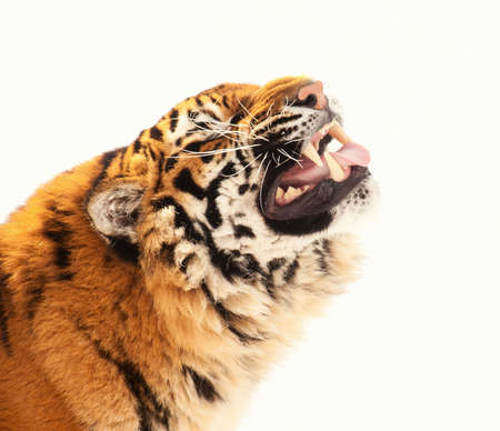 tigress: tiger isolated on the white background Stock Photo