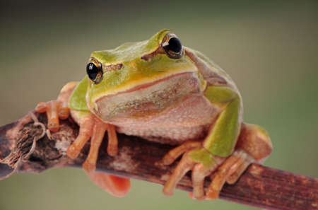 green tree frog: closeup green tree frog isolated on white background Stock Photo