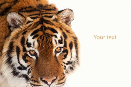 tigresa: tigre aislado en el fondo blanco Foto de archivo