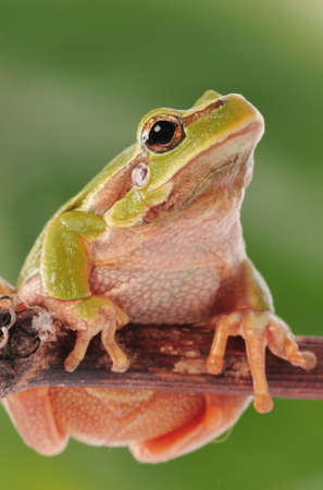 bufo bufo: closeup green tree frog isolated on white background Stock Photo
