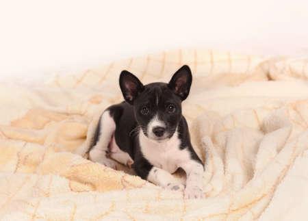 doggy position: Basenji dog puppy over grey background Stock Photo