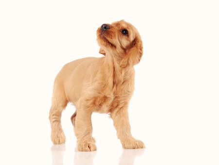 cachorro de perro triste aislada sobre fondo blanco