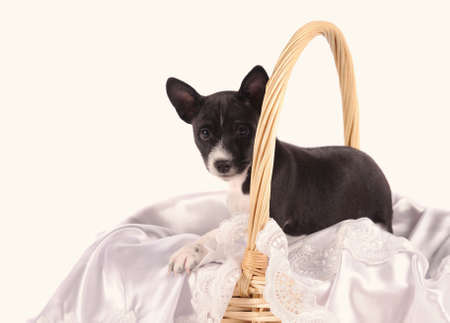 doggy position: Basenji dog puppy in the basket isolated over white background