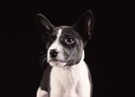 doggy position: Basenji dog puppy isolated over black background Stock Photo
