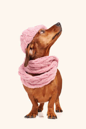 dachshund dog dressed into hat and scarf isolated Stock Photo