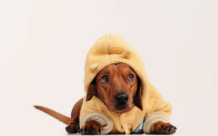 brown dachshund dog over gray background Stock Photo