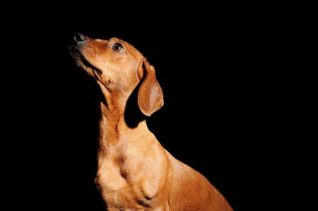 brown dachshund dog isolated over black background Stock Photo