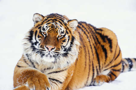 siberian tiger on snow