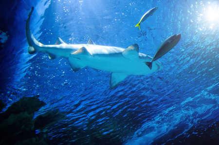 Der Weiße Hai im großen Blau