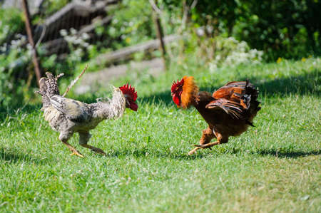 Two cocks fighting on a green grass 스톡 콘텐츠