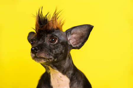 funny dog with color similar to leopard on the yellow background Banco de Imagens