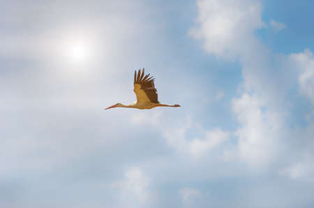 White stork flying in the sky. Clouds on the background