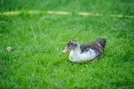 duck on a green grass