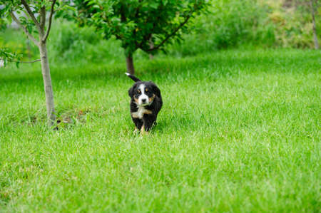 small happy puppy running on a green grass