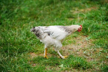 hen running on a green grass Stock fotó