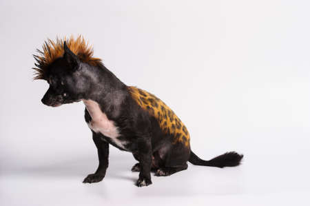 funny dog with color similar to leopard on the grey background Banco de Imagens